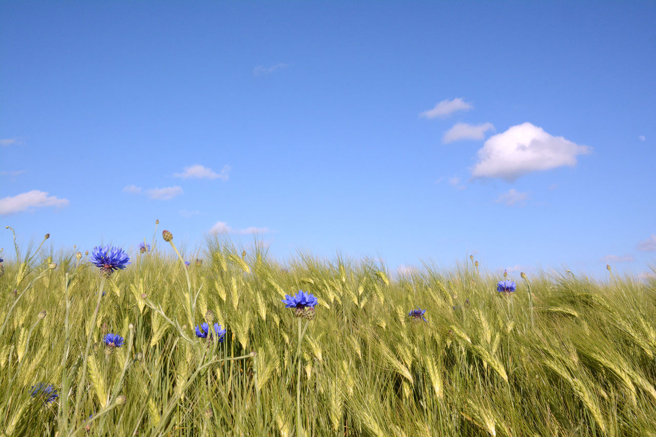 Blue cornflowers in wheat field Agriculture Bachelor Buttons Blue Blue Sky Centaurea Cyanus Cereal Plant Cloud - Sky Copy Space Cornflower Crop  Field Flower Freshness Full Frame Grass Growth Nature No People Outdoors Rural Scene Scenics Summer Tranquility Wheat Wheat Field