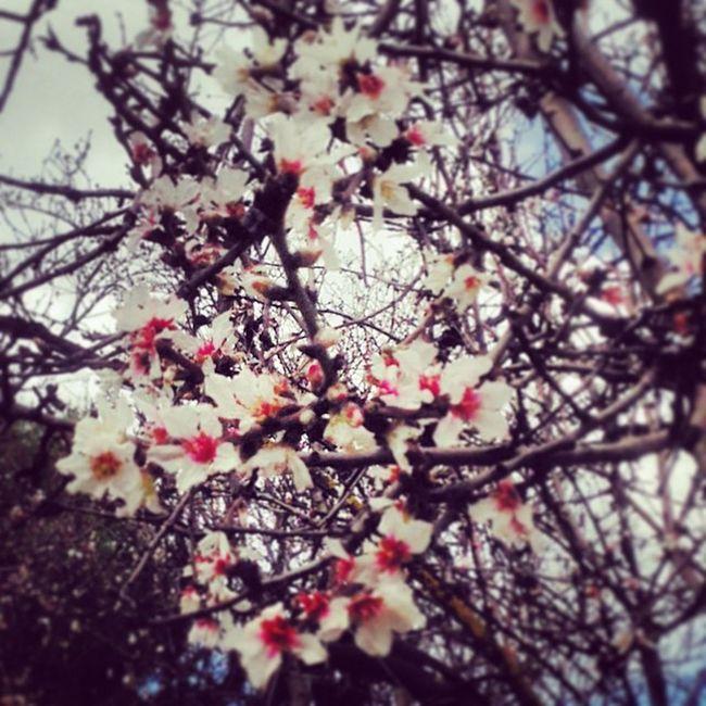 Flowers Nature Almond_tree Blossom FebruarywalkAthensSyggroulifolovebeautifulig_greeceWinterendssunSundayhappyromanticforestsacredplacemydaillycaptureallthemoney