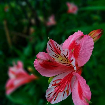 Flower Nature Beauty In Nature Fragility Petal Flower Head Pink Color Growth Plant No People Outdoors Focus On Foreground Close-up Beauty Day Freshness Springtime