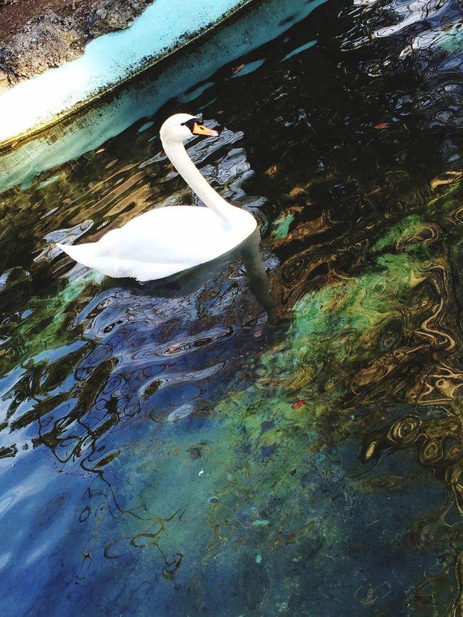 La pace dei sensi👐🏼 Spectacle Photo Art Meraviglia Photography Special Lake Photographer Spetacular Beautiful Very Beautiful Water Animals Animal Cigno White Color