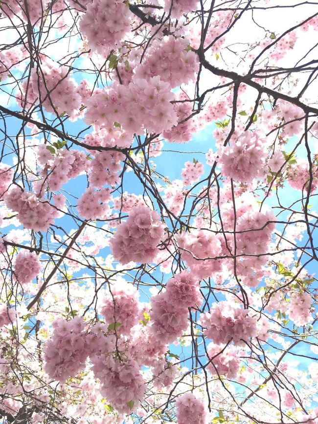 Cherry Blossoms Cherry Tree Cherryblossom Cherryblossoms Pink Pink Color Pink Flower Sky Romantic