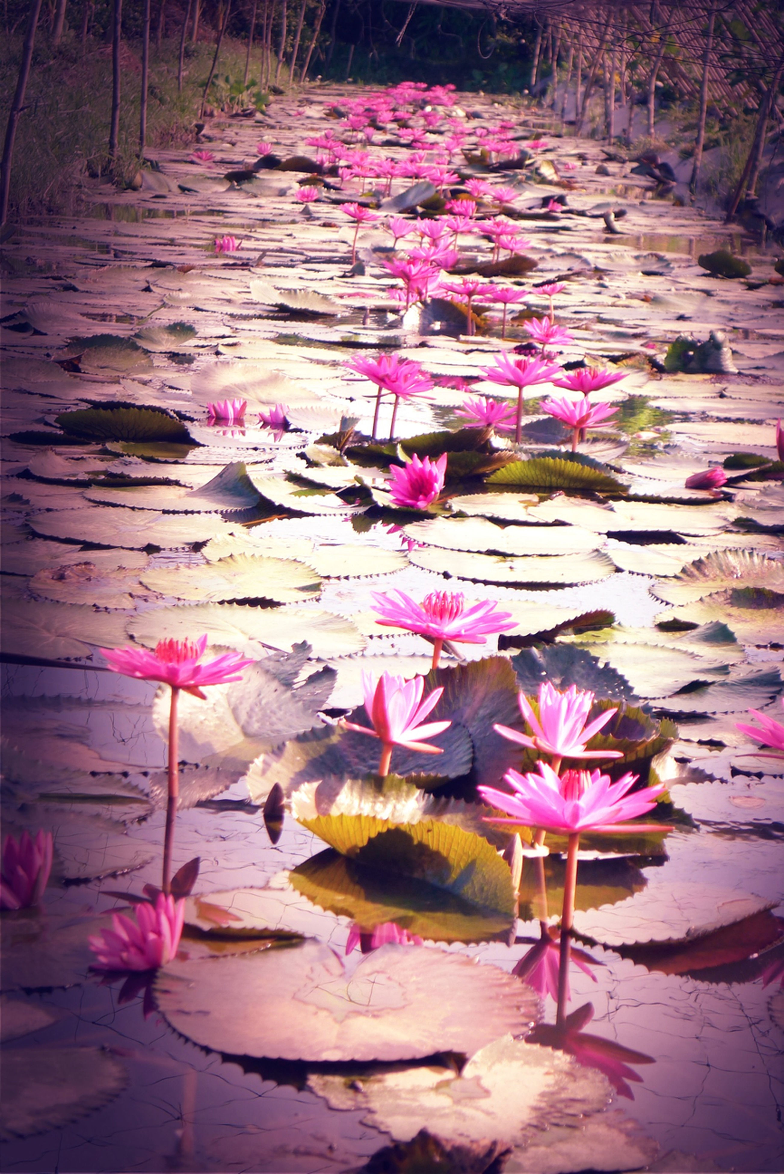 flower, pink color, petal, fragility, freshness, nature, leaf, beauty in nature, fallen, pink, purple, wood - material, high angle view, pond, water lily, outdoors, flower head, day, no people, close-up