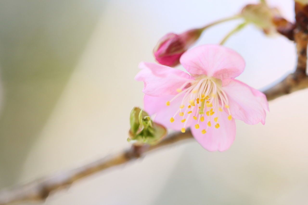 Blossom Young Leaves Bud Petal Flower Pink Color Flower Head Beauty In Nature Close-up Nature EyeEm Best Shots 河津桜