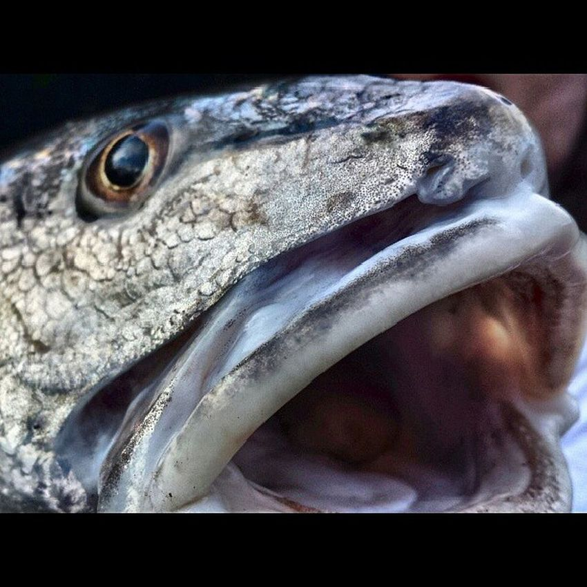 Fish Scales Snuck Mouth tongue eye's fisherman grey yummy beachbum beachlifesmile nice flagler outdoorstravenature brownFloridaflags