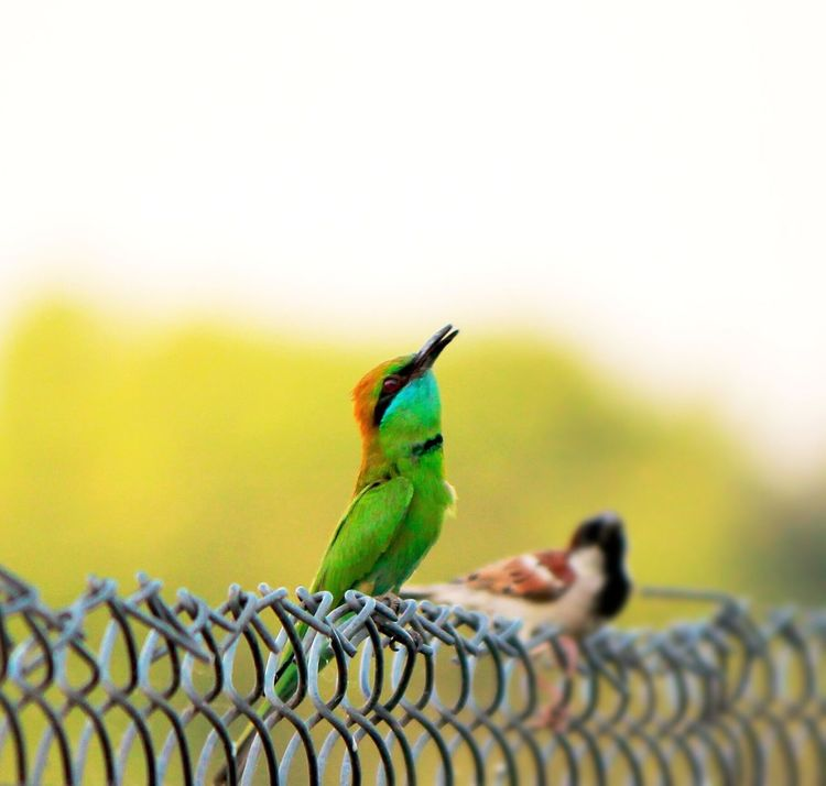 Photography Small Birds Small Birds Green Bee Eater Sparrow Macro Photography Macro Outdoors Outdoor Photography Steel Fence Trees Nature Sky Siālkot Sialkot Pakistan