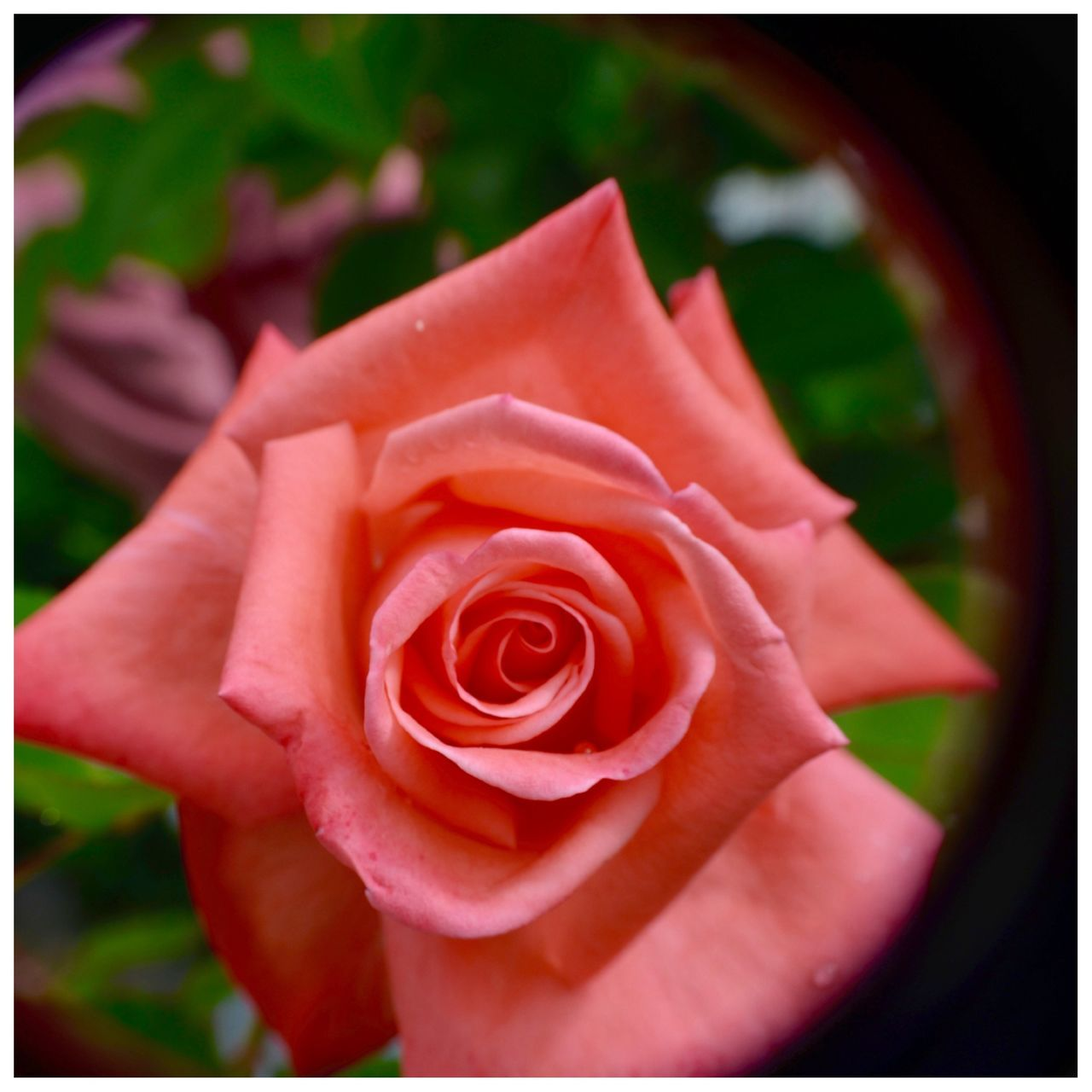 Close-Up Of Red Rose Flower