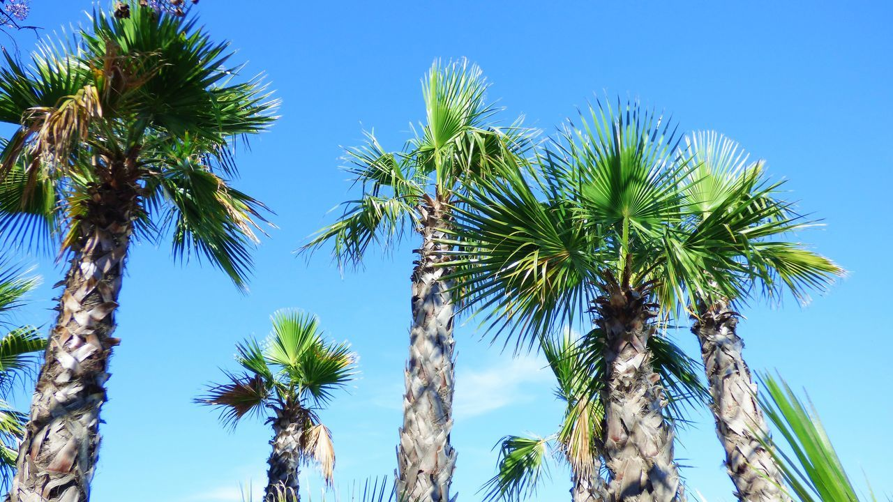 tree, low angle view, palm tree, nature, blue, growth, beauty in nature, sky, day, clear sky, no people, outdoors, scenics, tree trunk, tranquility, green color, sunlight