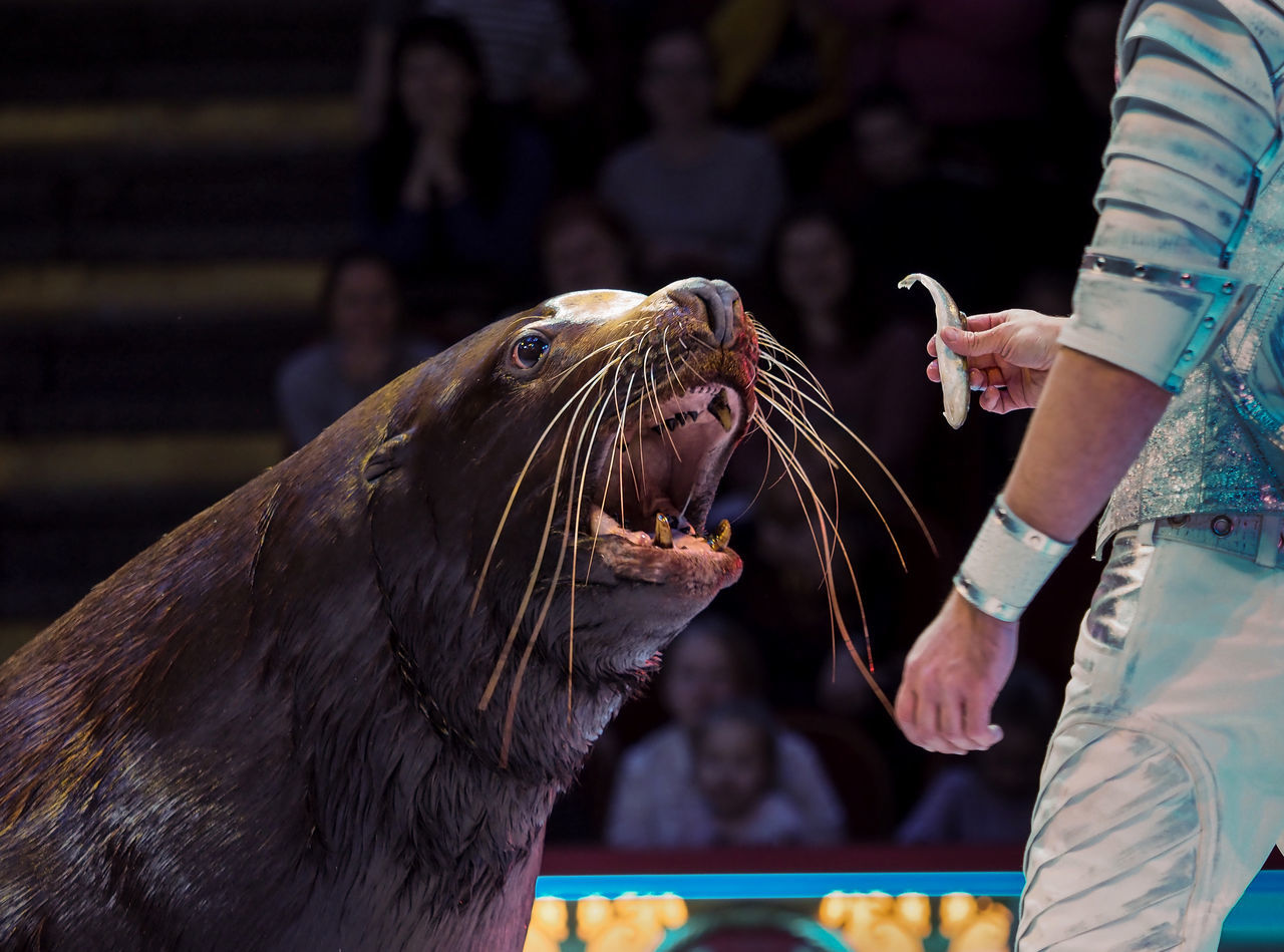 Russia, Moscow, circus, Russian circus, Nikulin Circus, sea lion Adult Adults Only Animal Themes Circus Close-up Day Human Body Part Human Hand Indoors  Moscow Moscow City Nikulin Circus One Animal One Person Only Women People Russia Russian Circus Sea Lion Young Adult