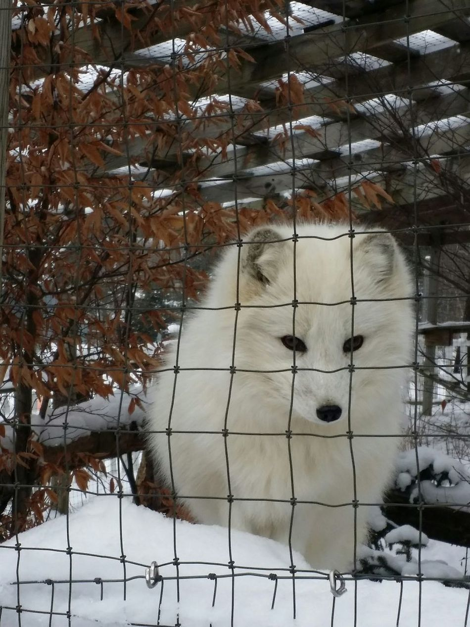 Unedited Artic Fox This ws at the Wolf Sanctuary Wildlife & Nature Wildlife White Winter Cold Fox Beautiful Animals❤️ Animal Sanctuary