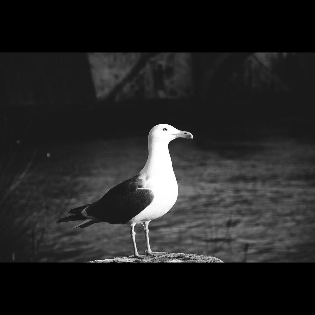 bird, one animal, animal themes, animals in the wild, perching, no people, focus on foreground, day, seagull, beak, water, outdoors, nature, close-up