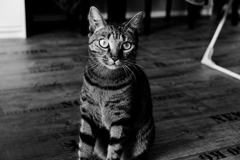Animal Animal Themes Black And White Cat Chat Close-up Day Domestic Animals Domestic Cat Feline Indoors  Le  LeChat Looking At Camera Mammal Moth4fok No People Noir Et Blanc One Animal Pets Portrait Pussycat Sitting The Thecat BYOPaper! The Photojournalist - 2017 EyeEm Awards The Portraitist - 2017 EyeEm Awards EyeEmNewHere Place Of Heart EyeEm Selects Pet Portraits