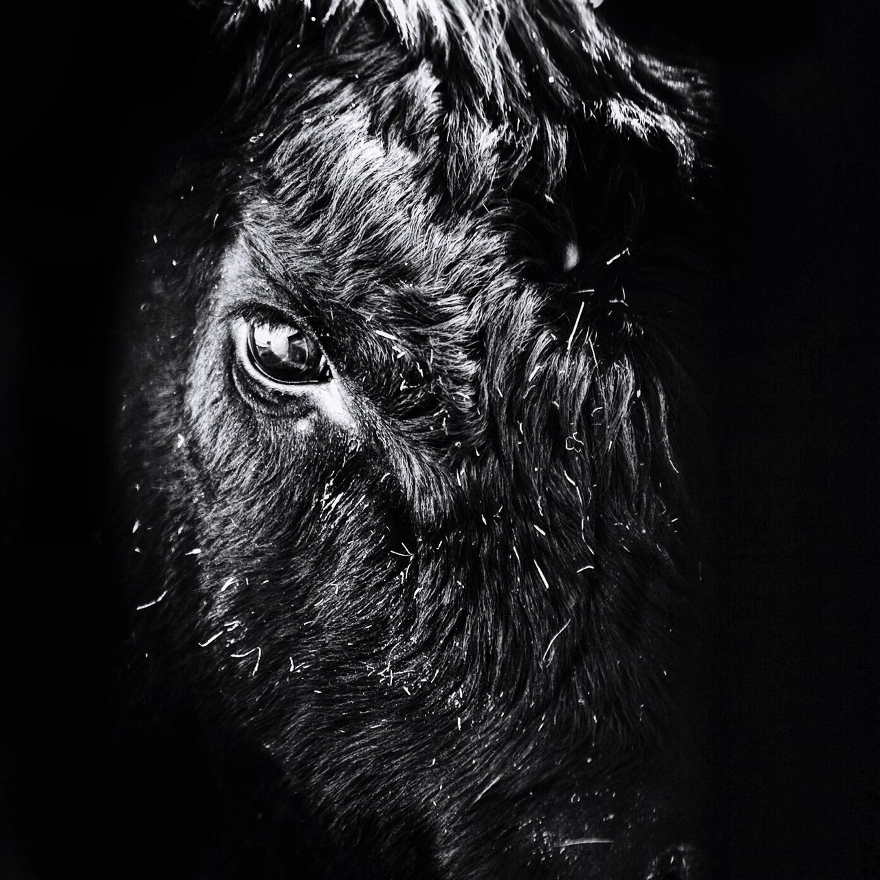 Blackandwhite Black Angus Cows Animals