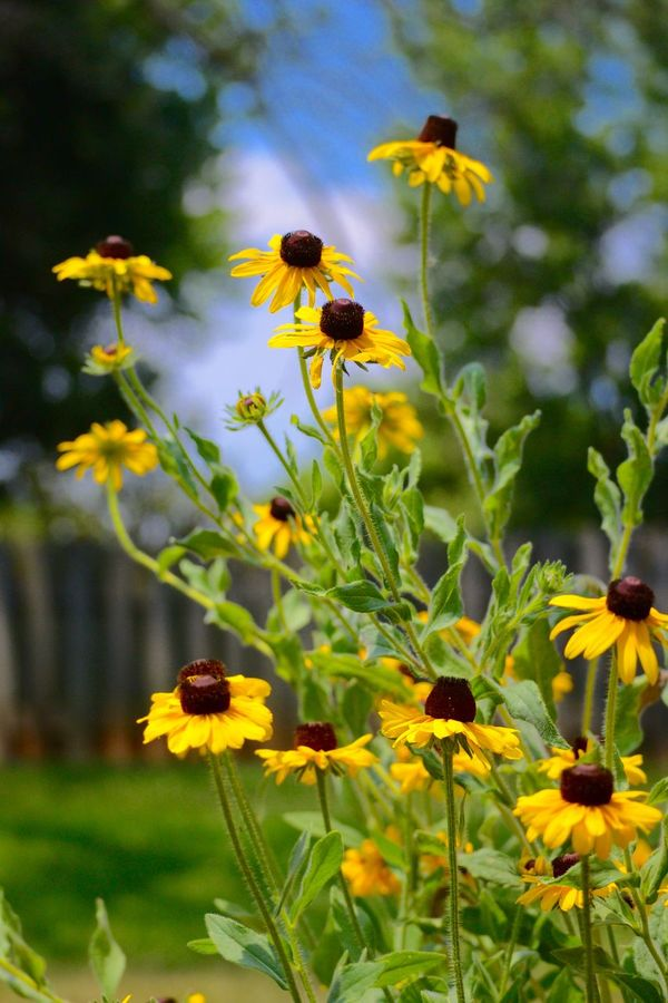 Beauty In Nature Blackeyedsusans Blooming Buzzing Flower Flower Head Focus On Foreground Fragility Freshness Growth Nature No People Outdoors Petal Plant Pollen Yellow