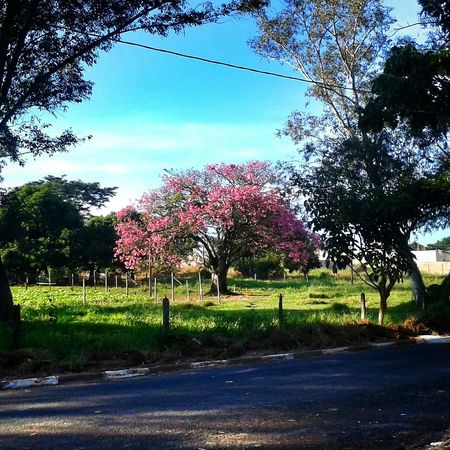 Sem caminhada hoje, mas garantida está a foto. EyeEm Nature Lover EyeEmBestPics Nature Trees Pinktree Relaxing Blue Sky See What I See Happy