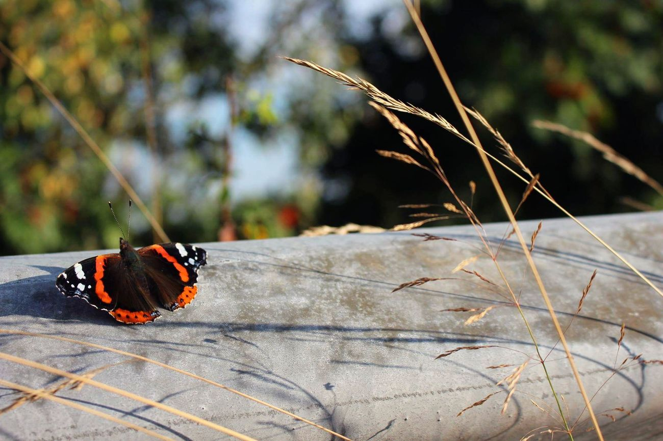 Butterfly Hobbyphotography Red Black Little Insect Outdoor Nature Pic Eye4photography  Canoneos700d Pictureoftheday Afternoon Beautiful Snapshot EyeEm Korn Yellow Sun Photography