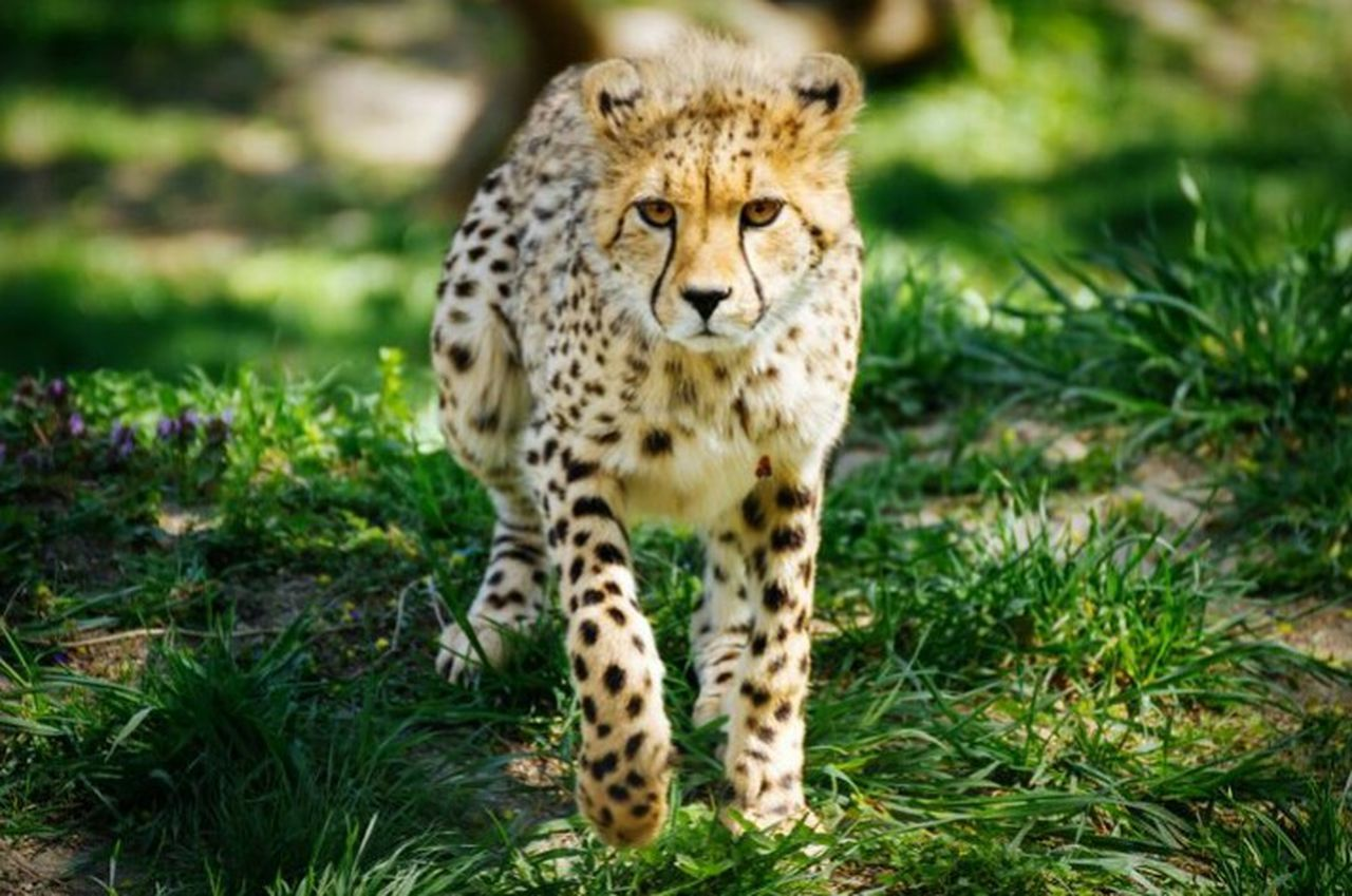 Looking At Camera One Animal Spotted Animals In The Wild Portrait Animal Wildlife Mammal Leopard Feline Safari Animals Carnivora Cheetah Animal Themes Outdoors No People Nature Day Kajali River Jiya Pritty Girl Rinku Town Indiaphotoproject Malika Menard Payal Jeckil