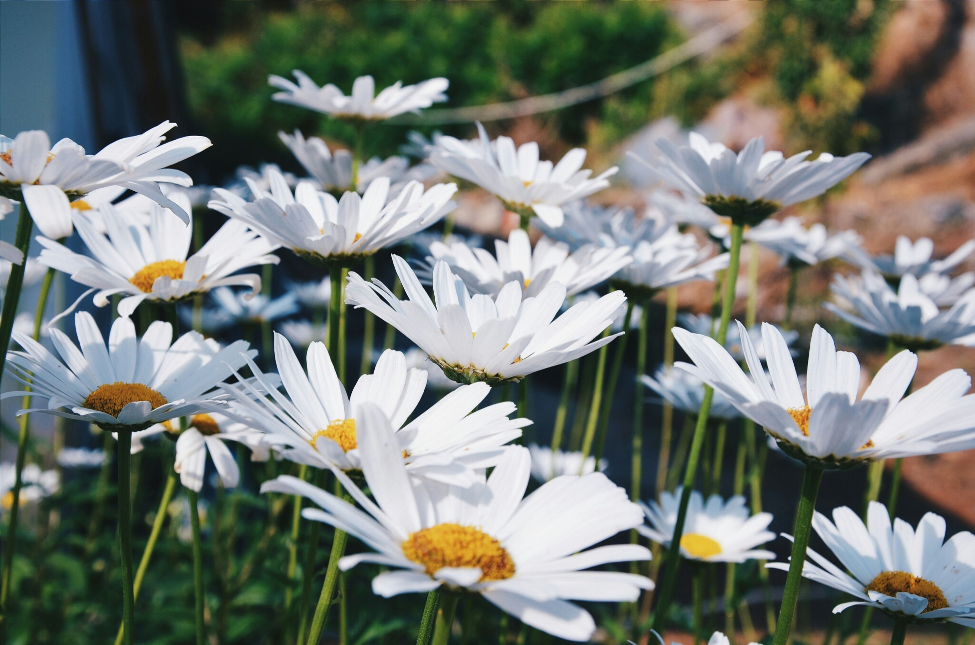 flower, white color, fragility, freshness, petal, growth, focus on foreground, flower head, blooming, beauty in nature, nature, plant, close-up, pollen, white, in bloom, stem, day, outdoors, daisy