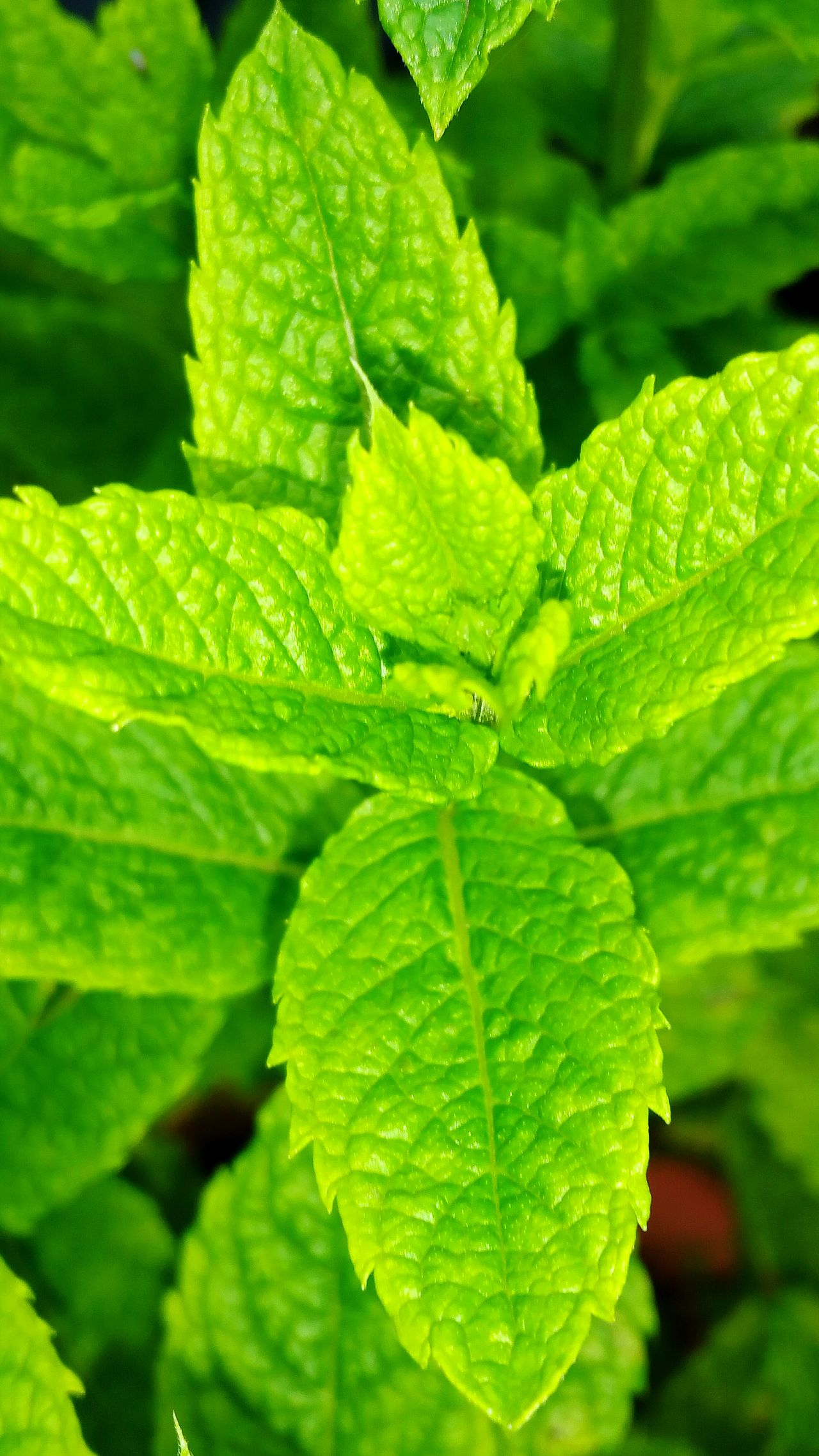 Mint Leaves Mint Plant Garden Photography Garden Hanging Out Plant Plant Photography Green Mint Mint Green