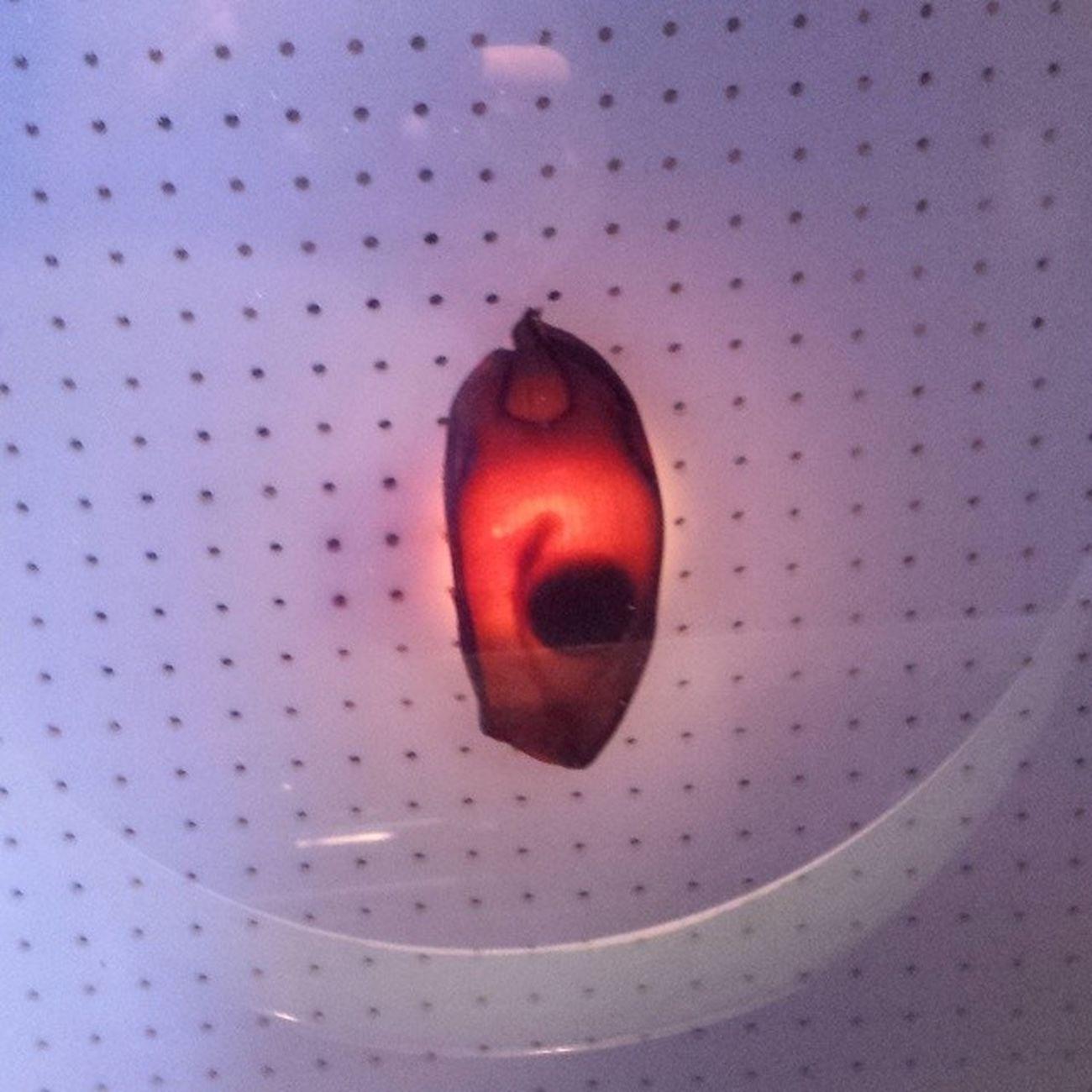 Baby shark egg! ItMoves Amazing Chicago Sheddaquarium