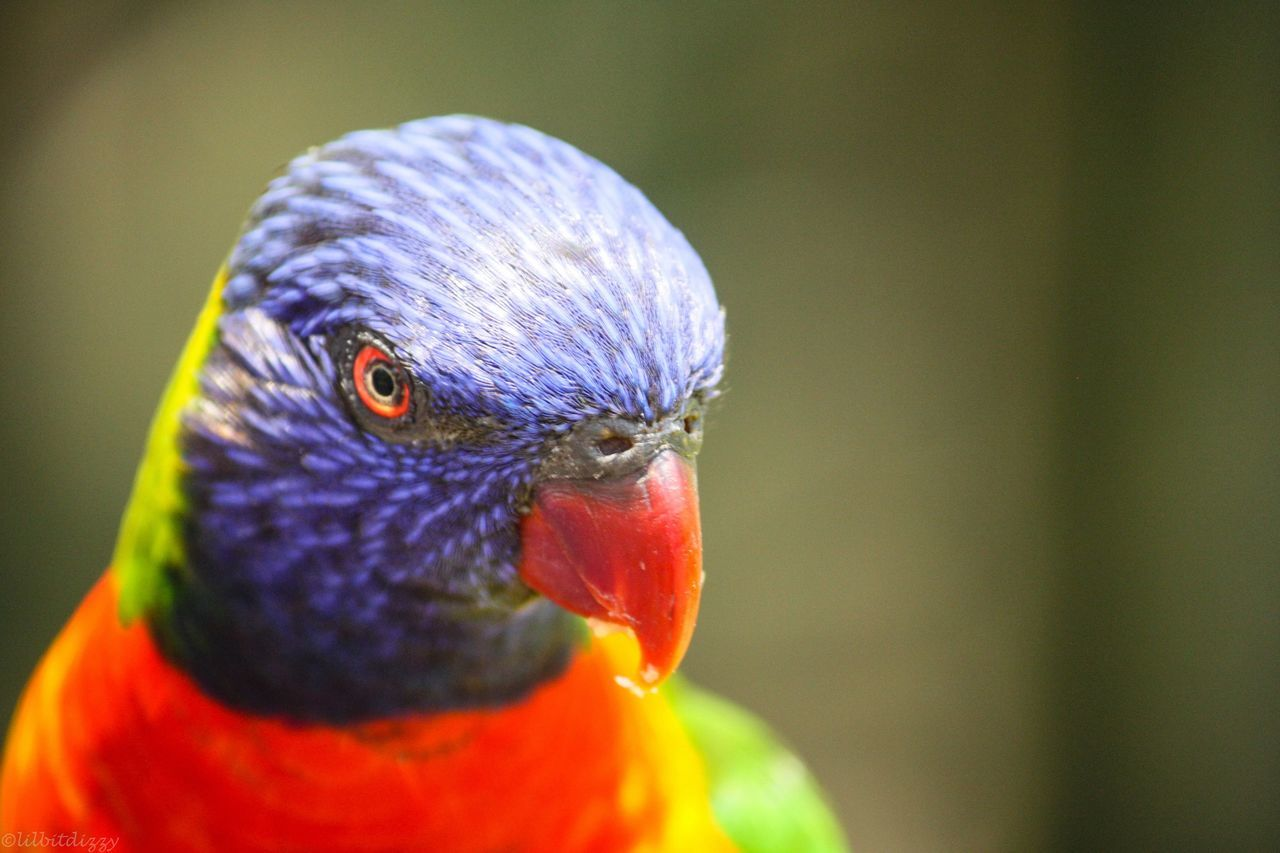 Beautiful stock photos of parrot, Adult Animal, Animal, Animal Themes, Animals In The Wild