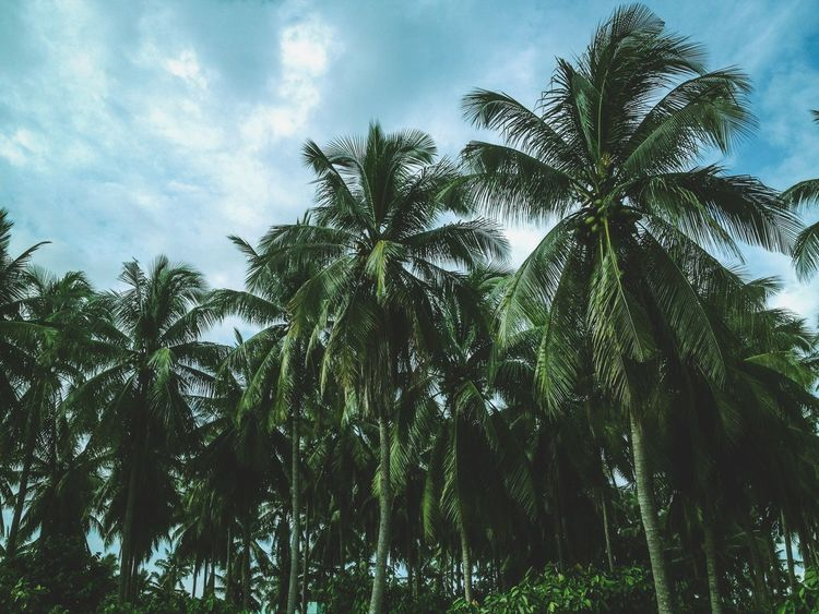 Nature Coconut Kokonat Tree Sky Nature Low Angle Viewlambanog]heninquezon]in natTranquilitylTropical ClimatemScenicsnNo PeopleoOutdoorsoDay Cloud - Sky Tree Trunkrunk