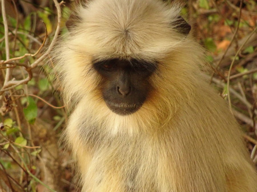 Animal Hair Animal Head  Animal Nose Animal Themes Beauty In Nature Close-up Day Field Focus On Foreground India Langur Monkey Nature One Animal Outdoors Zoology