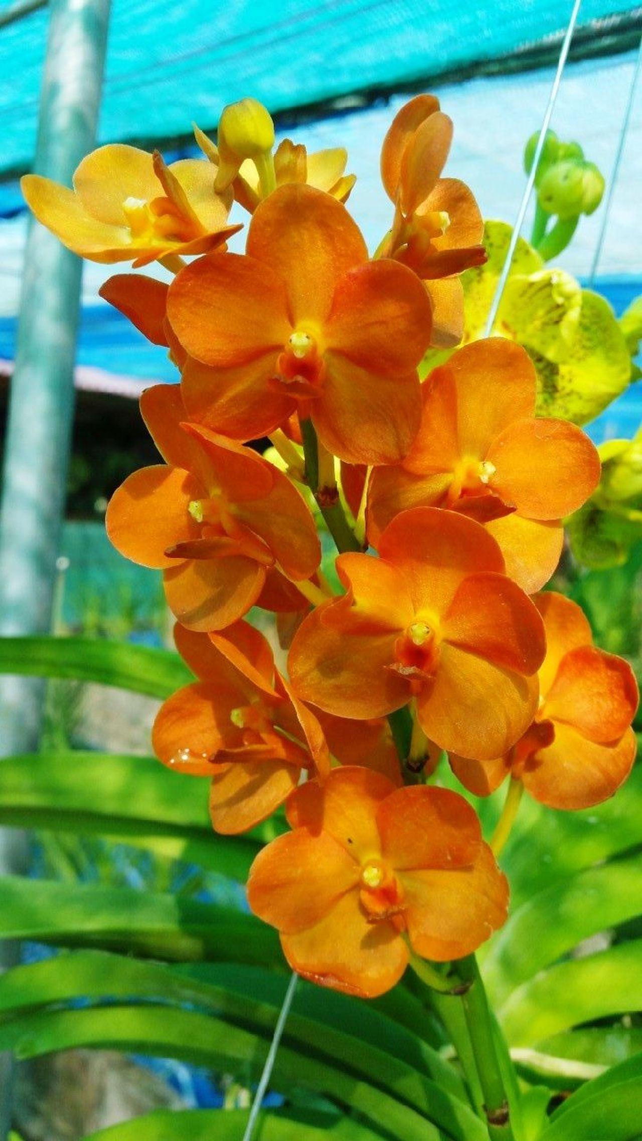 Orchids Orange Petal Orchids Orchard Orchid Blossoms Orchid Flower Orchids Collection Orchid Flowers Orchid Collection Orchids Garden OrchidLover Orchid Flower Nature Freshness Beauty In Nature Plant Outdoors Flower Head Growth Fragility Day No People Close-up Water Leaf orange