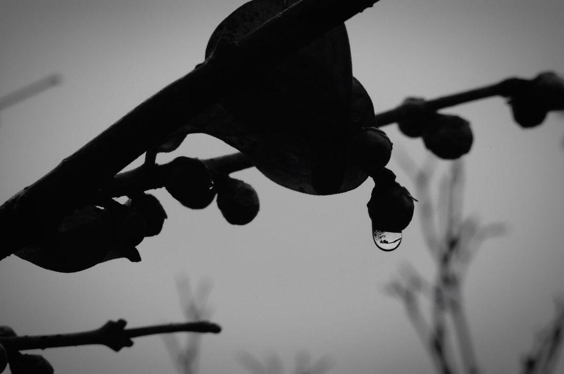 Rain Rainy Days Raindrops Close-up Low Angle View Nature Sky Beauty In Nature Fragility 蝋梅 蕾 実  Monochrome Drop しずく 雨