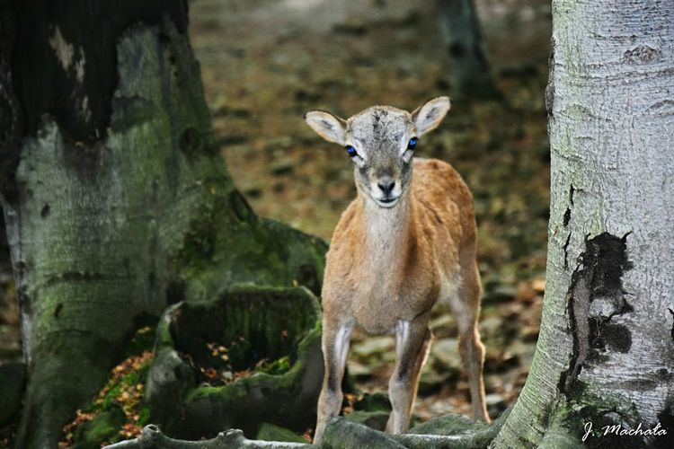 Young Animal Nature Animal Wildlife No People One Animal Mammal Animals In The Wild Forest Forest Photography Roedeer First Eyeem Photo Autumn Outdoors Leśny Park Niespodzianek -Ustroń Taking Photos Weekend EyeEm Poland Poland Photos Day Exceptional Photographs Nikon D3300 Nikonphotography Poland Nature Tree