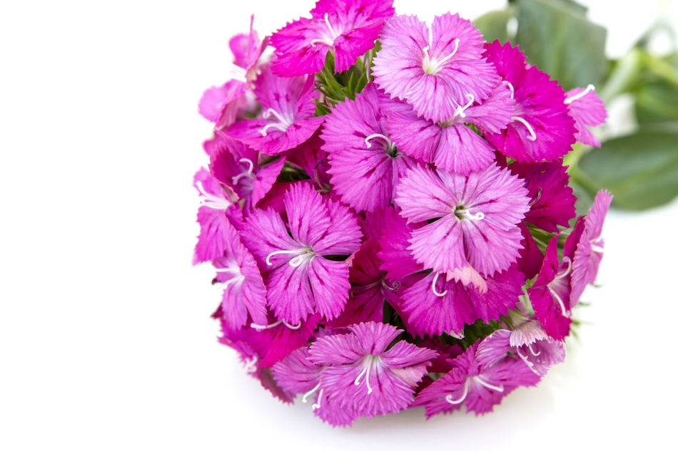 Dianthus barbatus (Sweet William) pink flowers isolated on white background . Background; Barbatus; Beautiful; Beauty; Bloom; Blooming; Blossom; Botanic; Botanical; Botany; Bright; Bunch; Carnation; China; Closeup; Cluster; Color; Colorful; Dianthus; Flora; Floral; Flower; Freshness; Garden; Gardening; Green; Horticulture; Isolated; Leaf; Macro; Natural; Nature; Perennial; Petal; Pink; Plant; Purple; Red; Romantic; Season; Small; Spring; Stamen; Summer; Sweet; White; William; Beauty In Nature Blooming Close-up Day Flower Flower Head Fragility Freshness Growth Nature No People Outdoors Petal Pink Color Plant Purple Springtime Studio Shot White Background
