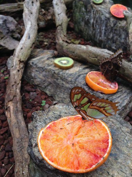 Butterfly Farfalla Orange Kiwi Arancia