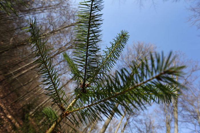 1610, Spessart, junge Douglasie Beauty In Nature Blue Botany Branch Close-up Coniferous Tree Day Douglas Focus On Foreground Green Green Color Growing Growth Leaf Nature Non-urban Scene Outdoors Plant Scenics Tranquil Scene Tranquility Tree Maximum Closeness Lookingup Looking Up