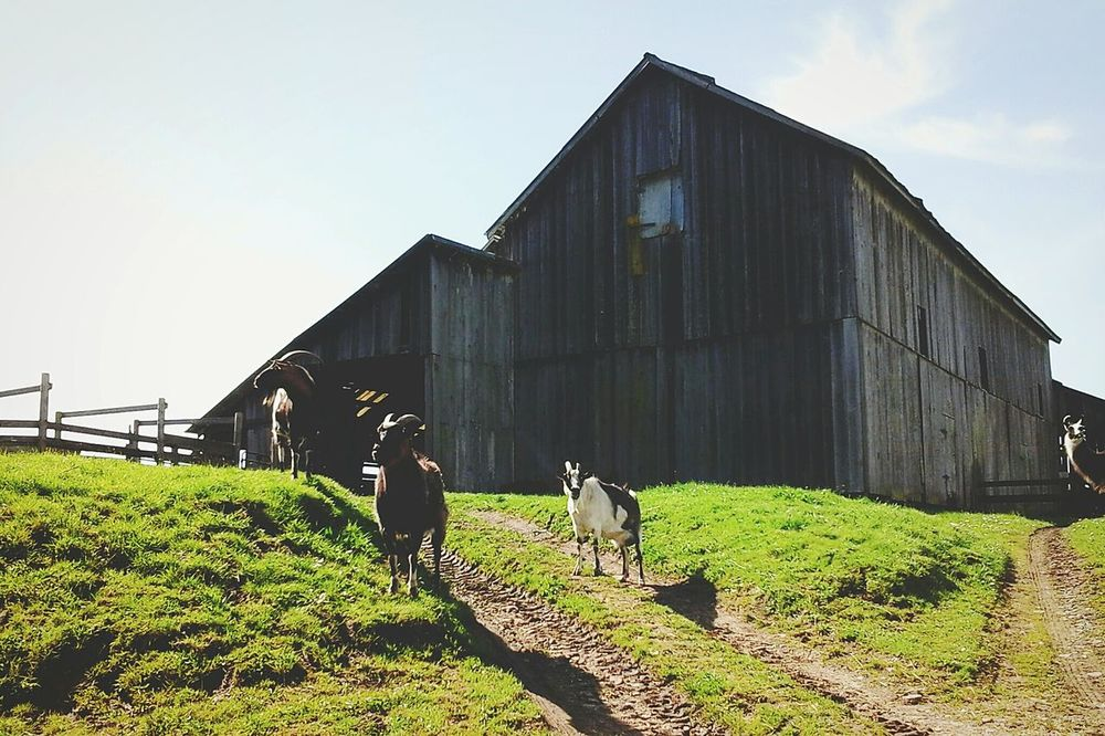 ~Photobomb~ Farm Animals Goats Llama This Old Barn Ranch Life Barnyard Home Sweet Home My Happy Place  Nature The Great Outdoors Life In Colors Beautiful Day Check This Out Taking Photos Enjoying Life From My Point Of View