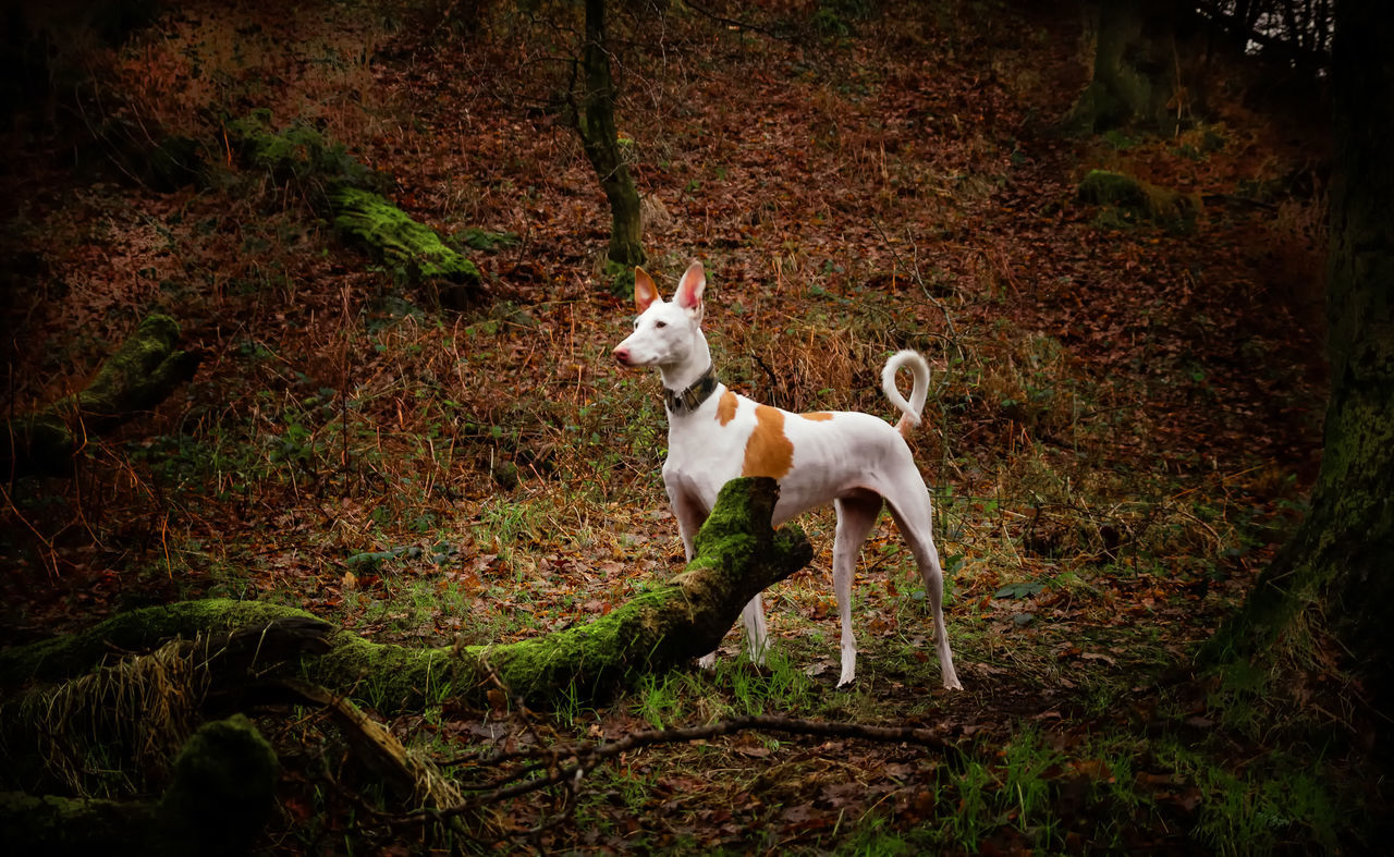 Animal Themes Beautiful Day Dog Domestic Animals Forest Ibizan Hound Mammal Nature No People One Animal Outdoors Pets Podenco Ibicenco Scotland Spanish Trees