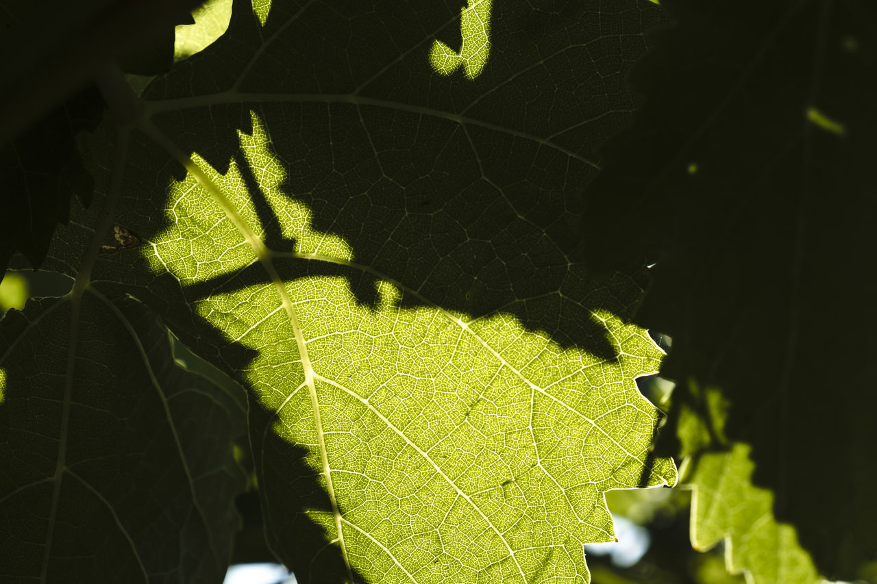 Agriculture Vineyards  Beauty In Nature Close-up Day Fragility Freshness Grapes Green Color Growth Leaf Leaves Nature No People Outdoors Sunlight