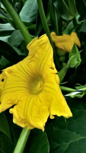 Photoediting Funeditingnature Taking Photos Check This Out Playing With Effects Playing With Filters Hello World Pumpkinflower Yellow Flowrrs And Plants Flordecalabaza Showcase July