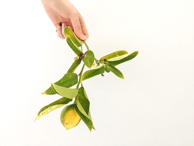 When life gives you lemons | Leaf Human Hand Green Color White Background Plant Nature Studio Shot Lemon Lemon Tree Lemontree Plant Plants And Flowers Plant Life Freshness Plant Photography Plantography Plant Lover Gardening Cutting Trees Urban Farming Greenery Hand Food Stories