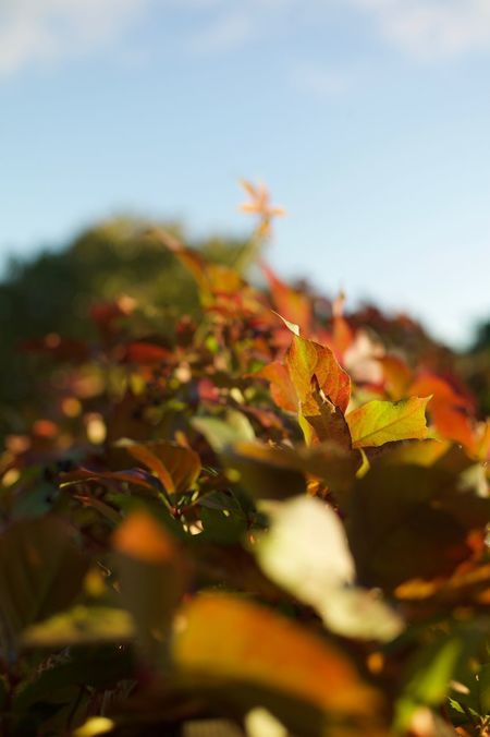 Leica M9 Autumn Beauty In Nature Change Close-up Day Growth Leaf Leica Lens Nature No People Outdoors Selective Focus Sky Summicron 5cm 1:2