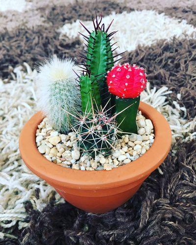My very own cactus garden First Eyeem Photo