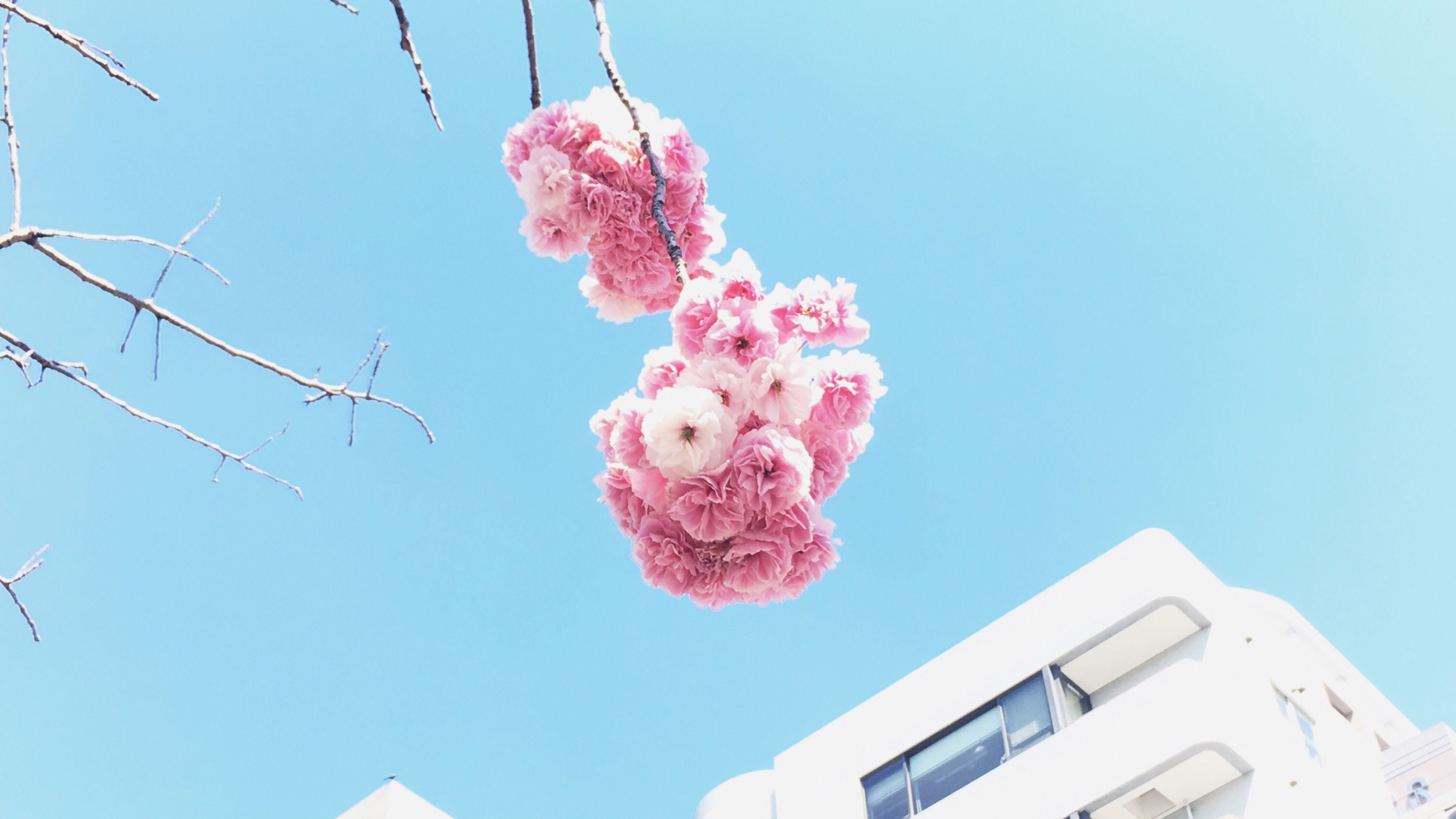 pink color, flower, low angle view, day, clear sky, outdoors, no people, fragility, building exterior, sky, nature, sunlight, built structure, beauty in nature, architecture, close-up, freshness, flower head