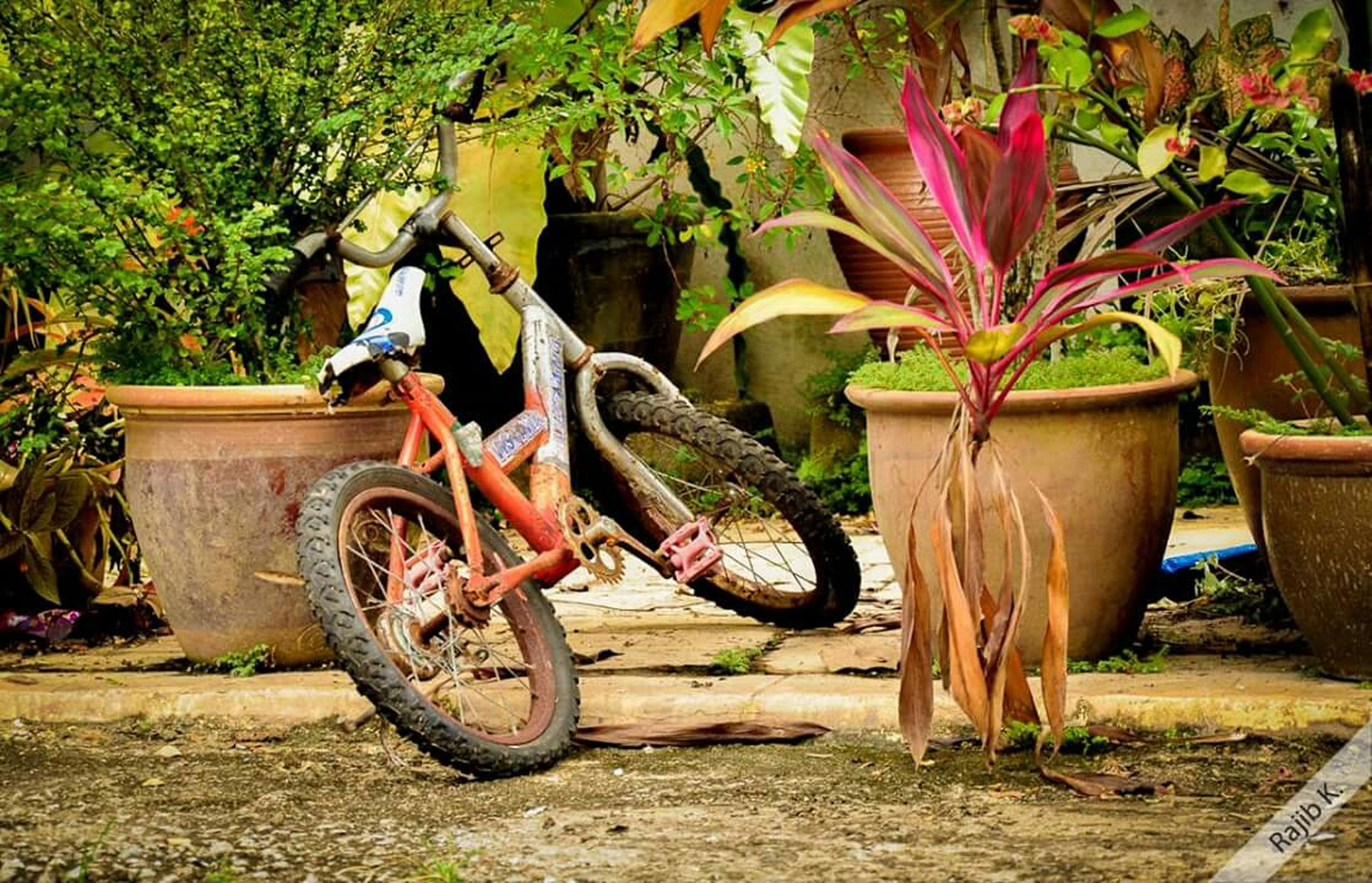 bicycle, growth, plant, transportation, wheel, land vehicle, mode of transport, potted plant, day, outdoors, sunlight, stationary, no people, front or back yard, nature, tree, abandoned, parking, parked, field