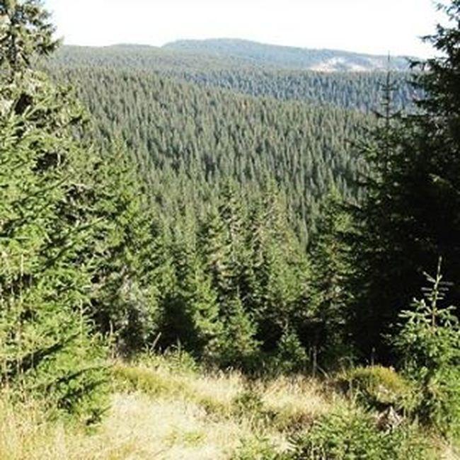 Pinewood in Romania Nature Naturelovers Travel Instatravel Mik Cabaña Padiș Hiking