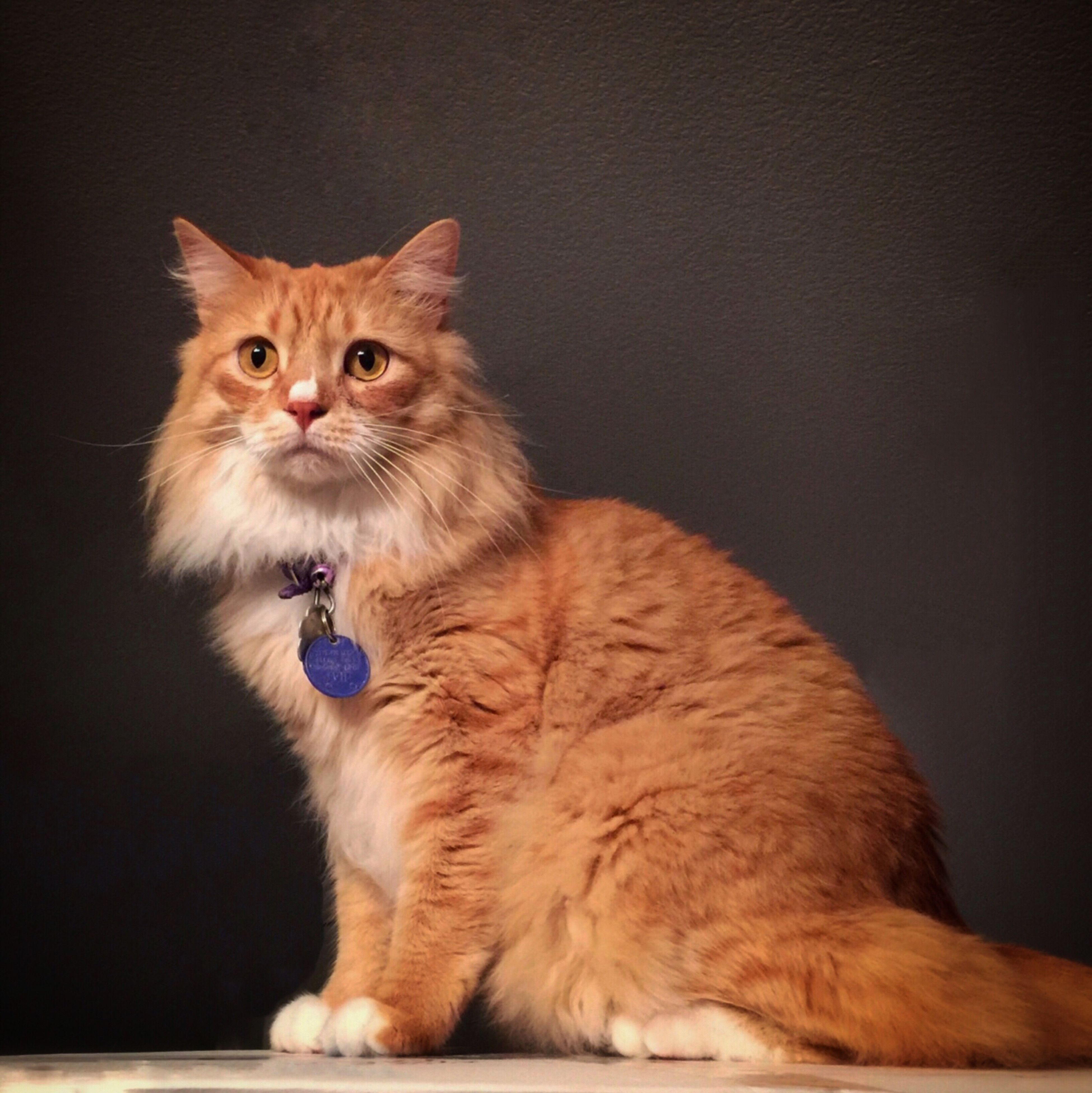 animal themes, one animal, pets, domestic animals, domestic cat, mammal, cat, feline, portrait, looking at camera, indoors, whisker, sitting, alertness, full length, studio shot, close-up, front view, zoology