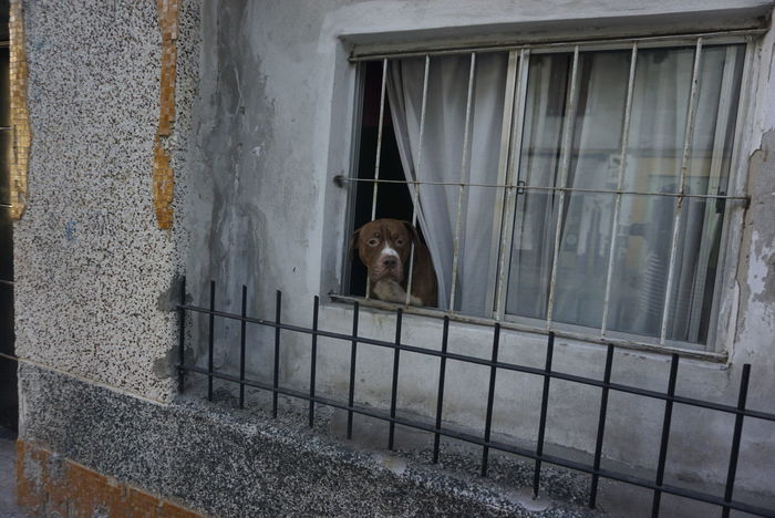 One Animal Window Animal Themes Mammal Trapped No People Day Indoors  Prison Close-up Oddusee EyeEm Best Shots Beauty In Nature EyeEm Gallery EyeEm Best Shots - Nature Royboyz Travel Destinations EyeNewHere Animal Wildlife Pitbull Dog  Pittbull PitBullNation Pitbulllife Pitbul