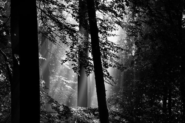 Tree Nature Scenics Beauty In Nature Forest Growth Tree Trunk No People Tranquility Outdoors Day Plant Sky Sunlight Blak And White Melancholic Landscapes