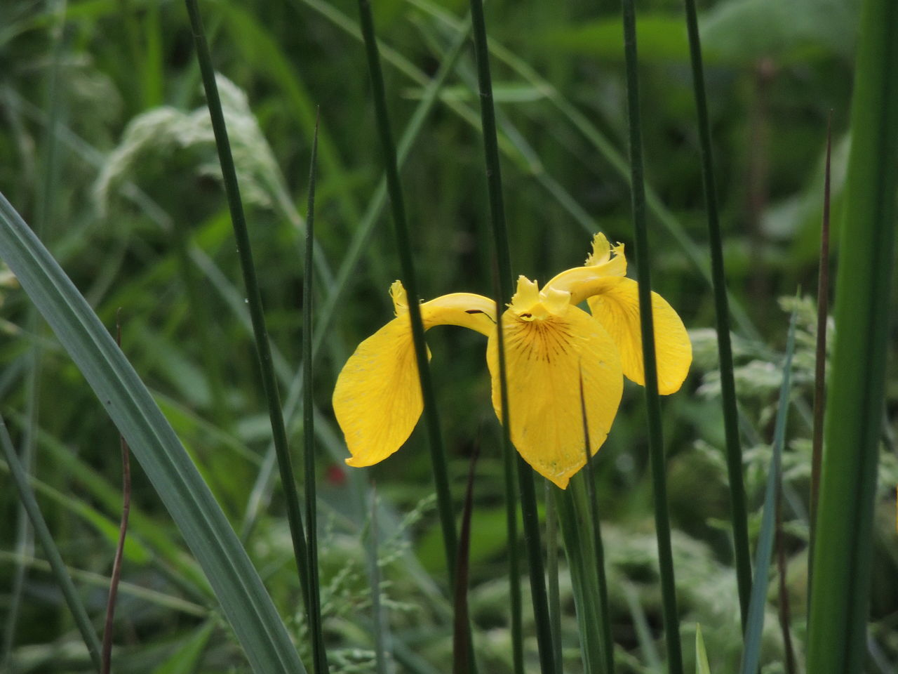flower, yellow, petal, fragility, growth, nature, freshness, plant, beauty in nature, flower head, outdoors, day, close-up, blooming, daffodil, no people