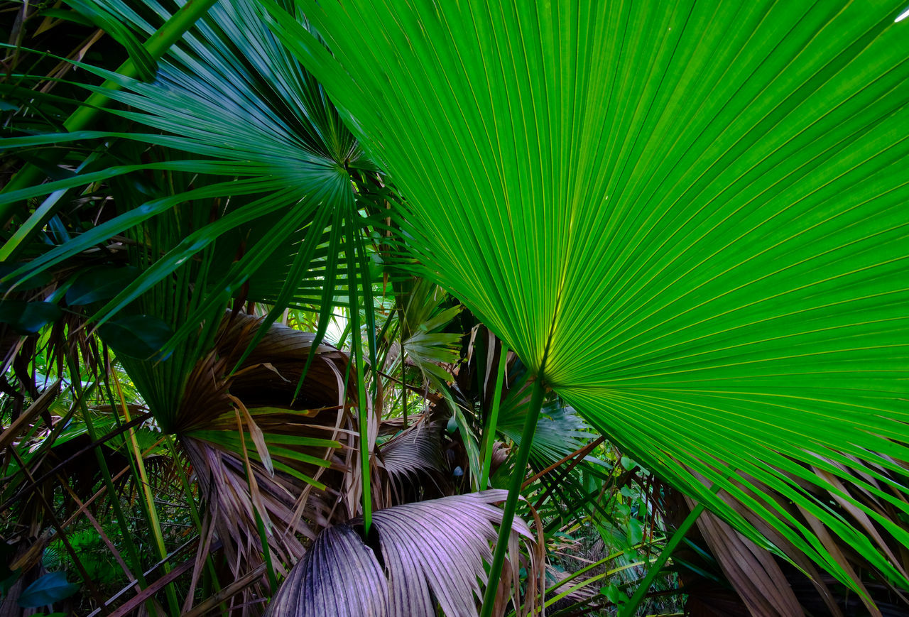 green color, leaf, palm leaf, frond, palm tree, growth, nature, banana tree, banana leaf, agriculture, plant, freshness, tree, no people, outdoors, day, beauty in nature, rice paddy, close-up