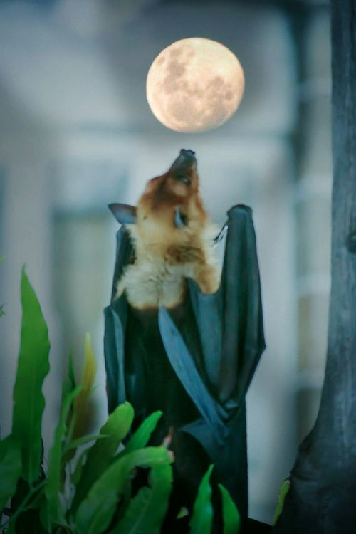 """""""There is magic In night, Bats know that secret """". Focus On Foreground Close-up Beauty In Nature Bats Beautyofdarkness Nyctophilia Darkness And Light Darkness And Beauty Lifegram Wils Dark Photograph Monochrome Photography"""