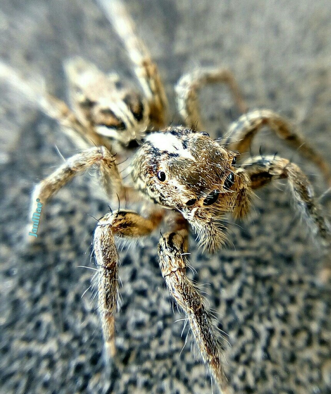 Beautiful Creatures Jumping Spider Nature Macro Photography Mcl -k3note