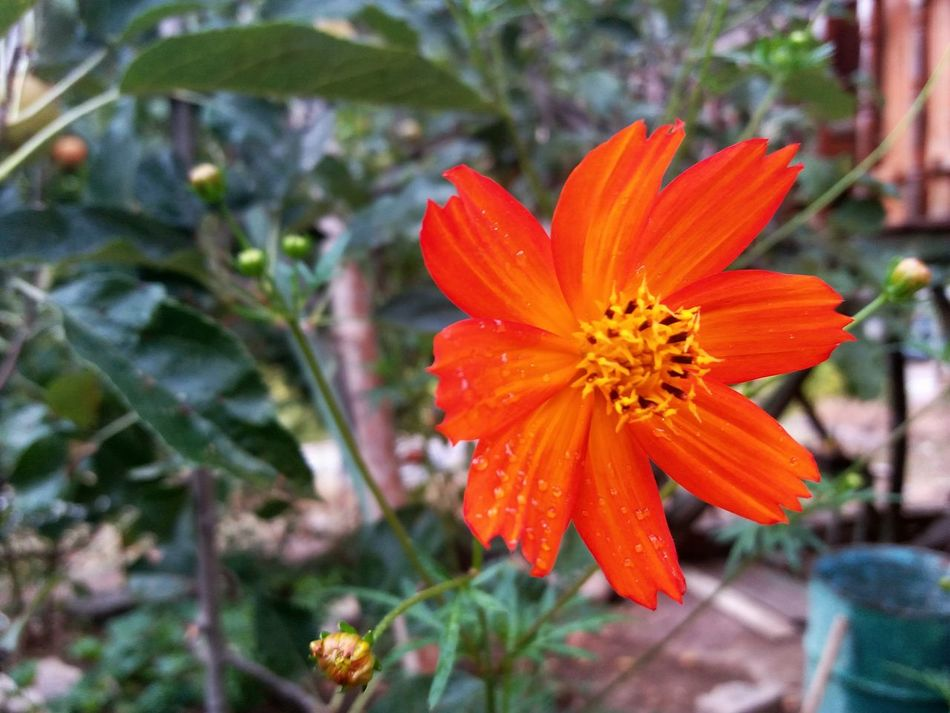 Flower Flower Head Petal Nature Orange Color Plant Beauty In Nature Botany Fragility Freshness Blossom Close-up Day No People Outdoors Springtime Beauty Zinnia